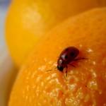 Ladybug, insect, orange