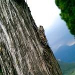 Cicada, tree